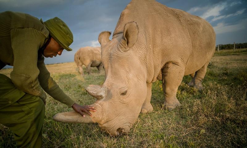 Fertilização artificial pode ser esperança derradeira para salvar da extinção os rinocerontes brancos do norte