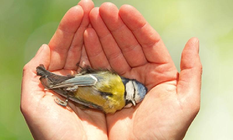 Pesquisa encontra 36 tipos diferentes de pesticidas em ninhos de filhotes de aves mortos