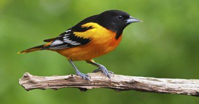 2,9 milhões de aves desapareceram dos Estados Unidos e Canadá nos últimos 50 anos