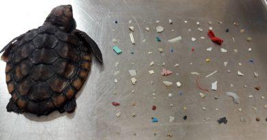 Filhote de tartaruga morta tinha mais de 100 pedaços de plástico no estômago