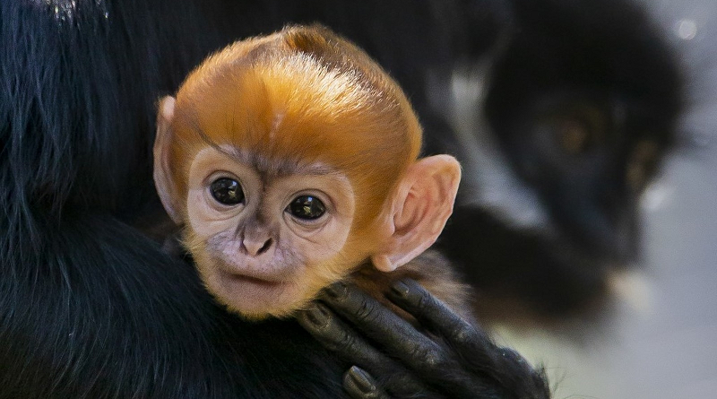 Macaco de espécie raríssima, criticamente ameaçada de extinção, nasce em zoológico na Austrália