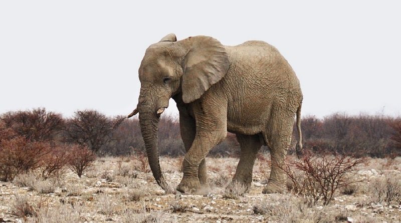 Mais de 50 elefantes morrem de fome e sede devido a seca histórica no sudeste da África