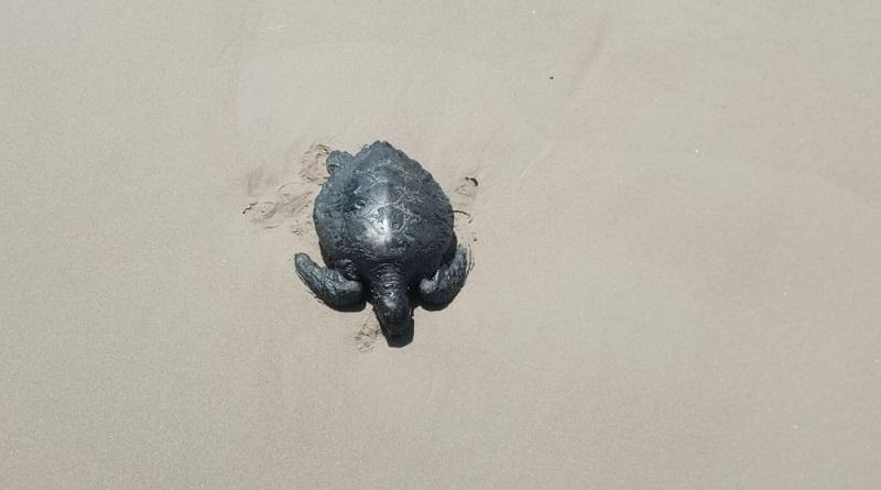 Soltura de filhotes de tartaruga é suspensa por causa de mancha de óleo que atinge litoral nordestino