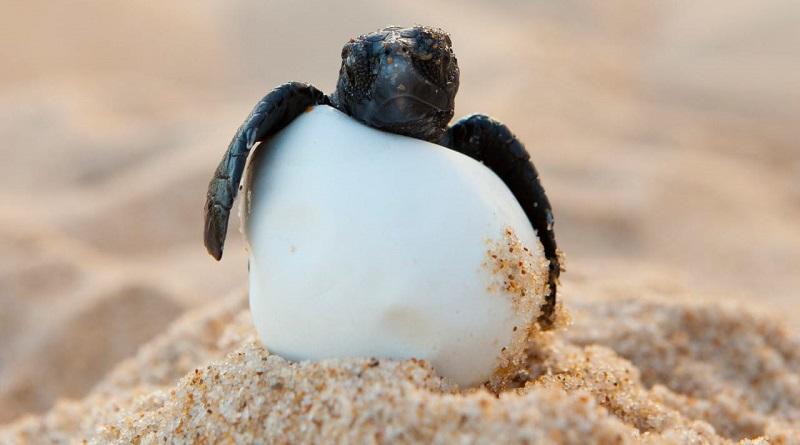 Soltura de tartarugas é suspensa em Sergipe por causa de mancha de óleo que atinge litoral nordestino