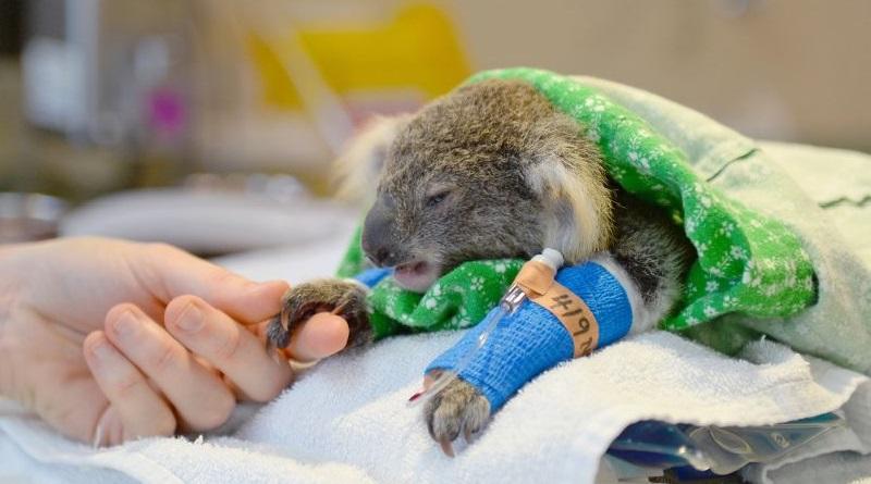 Centenas de coalas morrem devido a incêndios florestais que se alastram pela Austrália