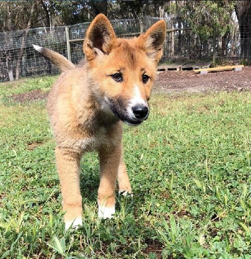 Filhote de 'vira-lata', caído do céu na Austrália, era na verdade, um dingo, espécie ameaçada de extinção