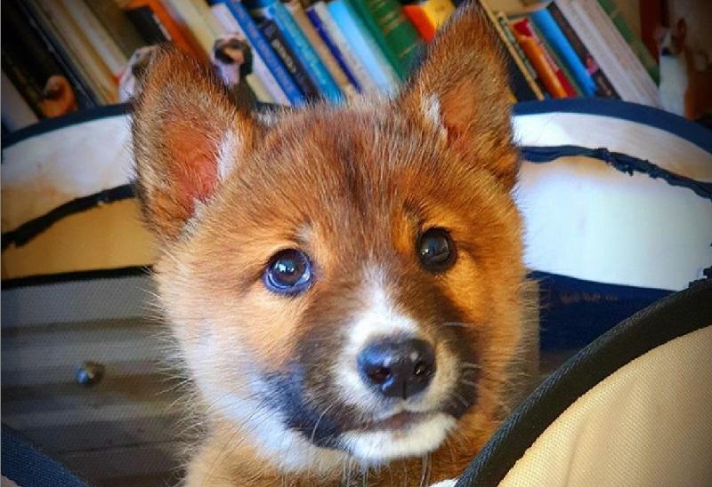 Filhote de 'vira-lata', achado na Austrália, era na verdade um dingo, espécie ameaçada de extinção
