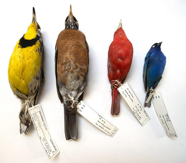 Aves estão ficando menores e com asas mais longas para se adaptar à mudança climática