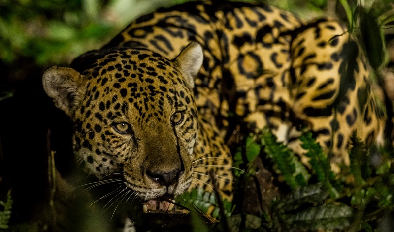Censo revela aumento da população de onças-pintadas no Parque Nacional do Iguaçu