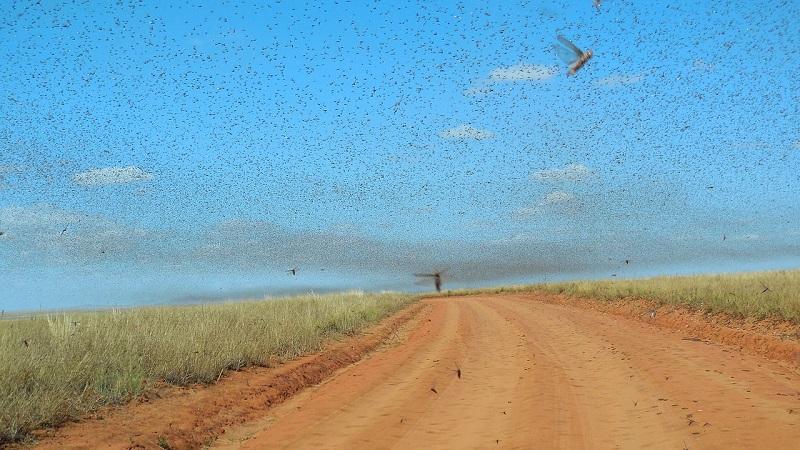 África enfrenta uma das piores infestações de gafanhotos das últimas décadas