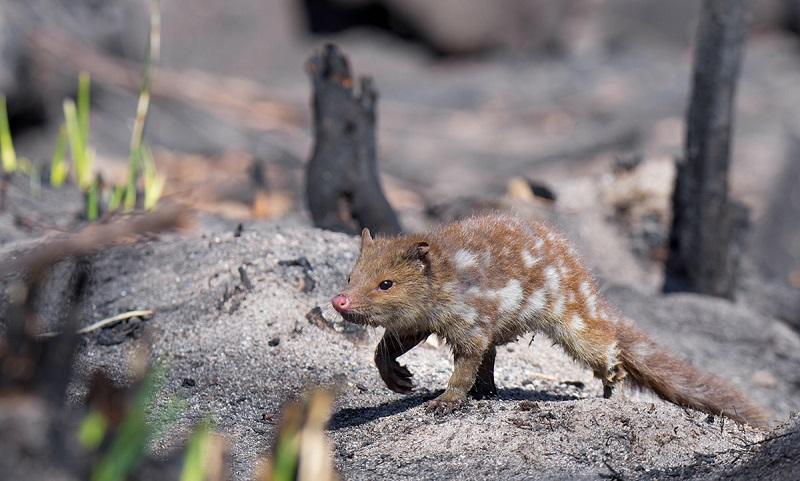 Estimativas apontam que mais de 480 milhões de animais morreram nos incêndios na Austrália