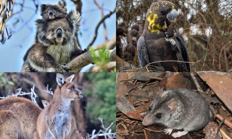 Em risco de extinção, espécies de animais enfrentam incêndios devastadores na Kangaroo Island, na Austrália