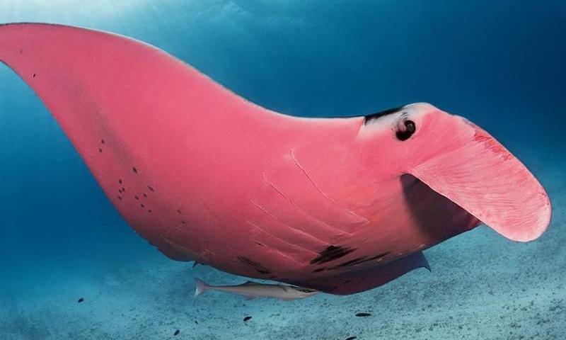Única raia gigante rosa do mundo é flagrada em ilha da Grande Barreira de Corais, na Austrália