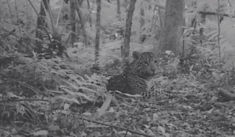 Nova filhote de onça-pintada é flagrada no Parque Nacional do Iguaçu