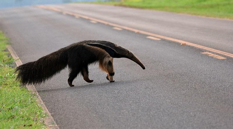 Com audição ruim e movimentos lentos, tamanduá-bandeira é uma das principais vítimas de atropelamentos no Cerrado