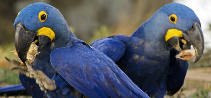 A arara-azul e seu papel-chave na dispersão de sementes de 18 espécies de plantas no Brasil