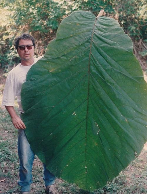 Coccoloba gigantifolia: árvore da Amazônia com folha gigante é descrita pela ciência