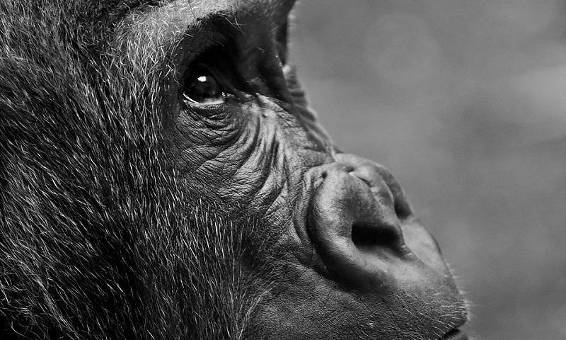 Cientistas alertam sobre a necessidade de proteger os grandes primatas do coronavírus