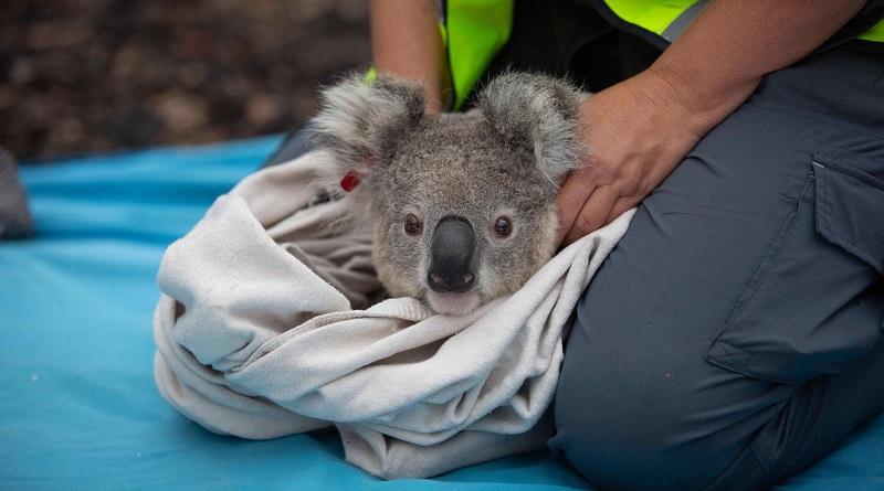 Coalas resgatados dos incêndios florestais da Austrália são devolvidos à natureza