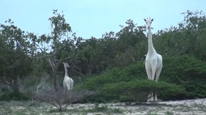 Duas girafas brancas e raríssimas, mãe e filhote, são mortas por caçadores no Quênia
