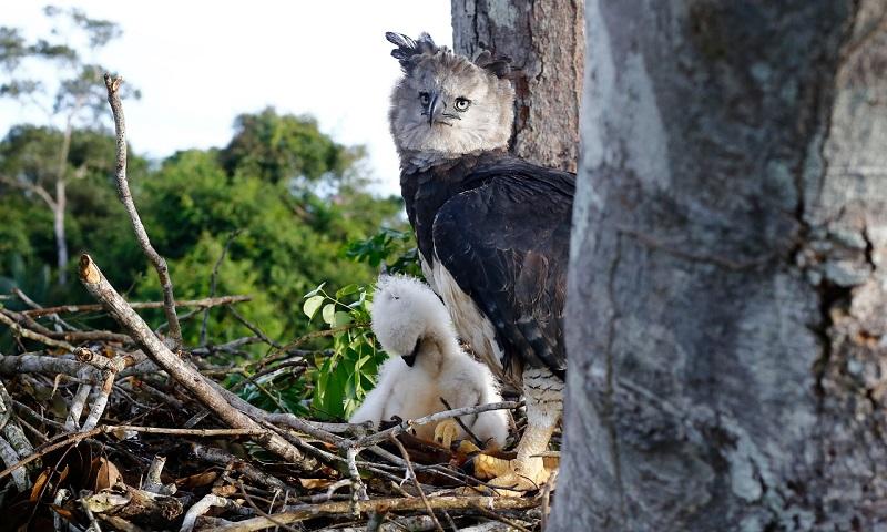 Há mais de 20 anos, Projeto Harpia trabalha para salvar da extinção a maior ave de rapina do Brasil