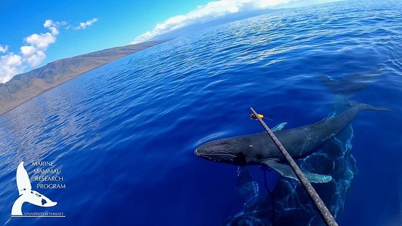 Biólogos registram, em vídeo, flagrante raro de baleia jubarte amamentando seu filhote