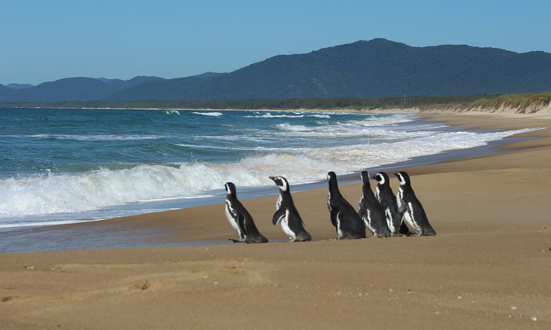 Pinguins são devolvidos ao mar no sul do Brasil: entre eles, um que recebeu pele sintética por causa de ferida na cabeça