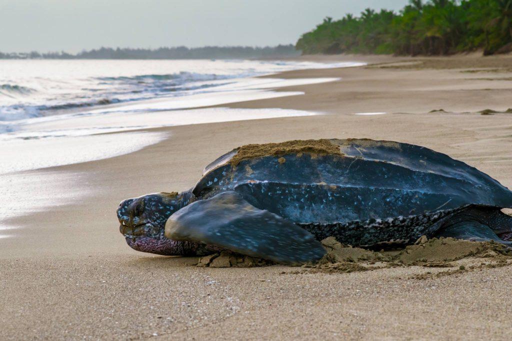 Quarentena está ajudando a reprodução da maior das espécies de tartarugas marinhas, ameaçada de extinção
