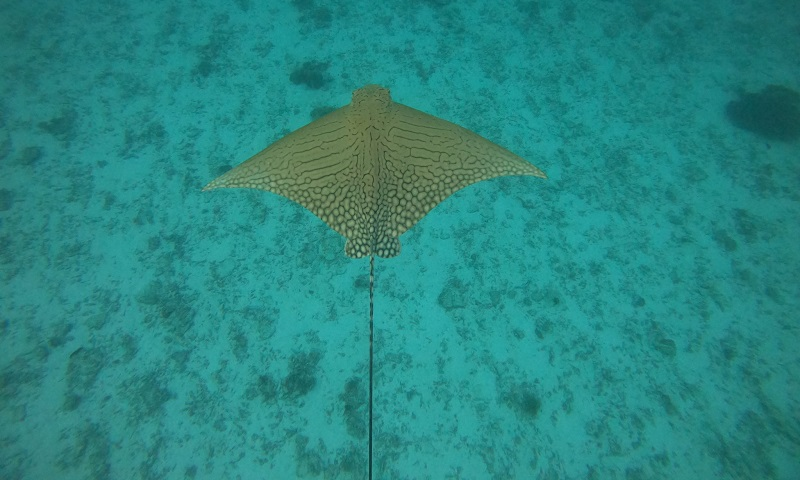 Raia raríssima, chamada de 'unicórnio dos oceanos', é filmada na Grande Barreira dos Corais, na Austrália