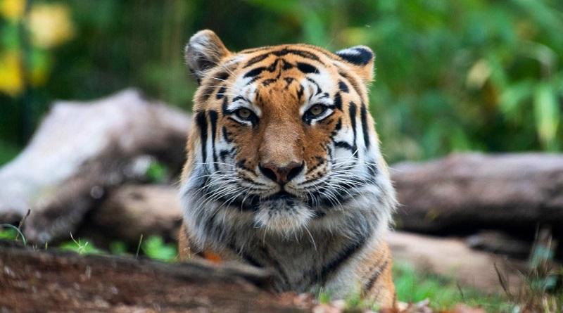 Tigre de zoológico de Nova York testa positivo para coronavírus