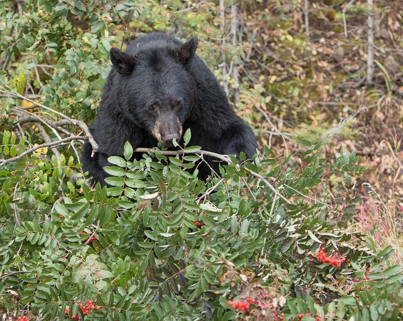 """Ursos """"fazem a festa"""" em parques fechados dos Estados Unidos"""