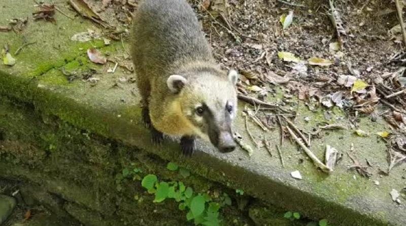 Sem humanos por perto, animais se 'reapropriam' de seu habitat na Floresta da Tijuca, no Rio de Janeiro