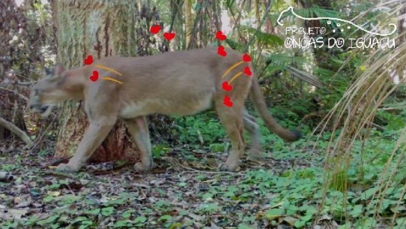 """Casal de puma, possivelmente """"prenho"""", avistado no Parque Nacional do Iguaçu, terá nomes escolhidos em votação pela internet"""