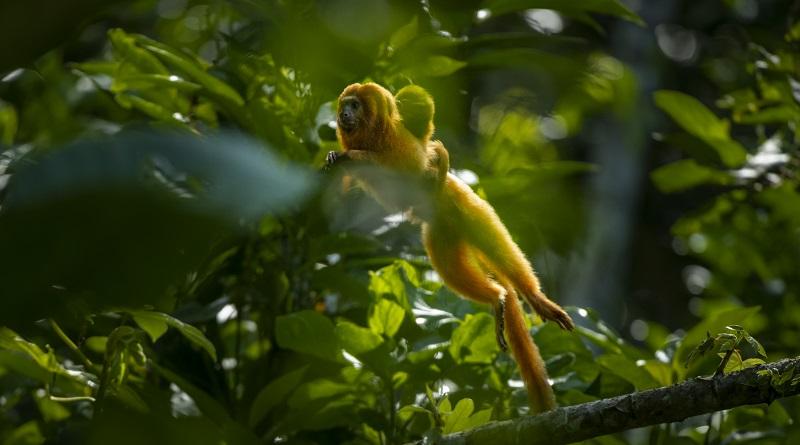 Corredor florestal será novo aliado na proteção ao mico-leão-dourado