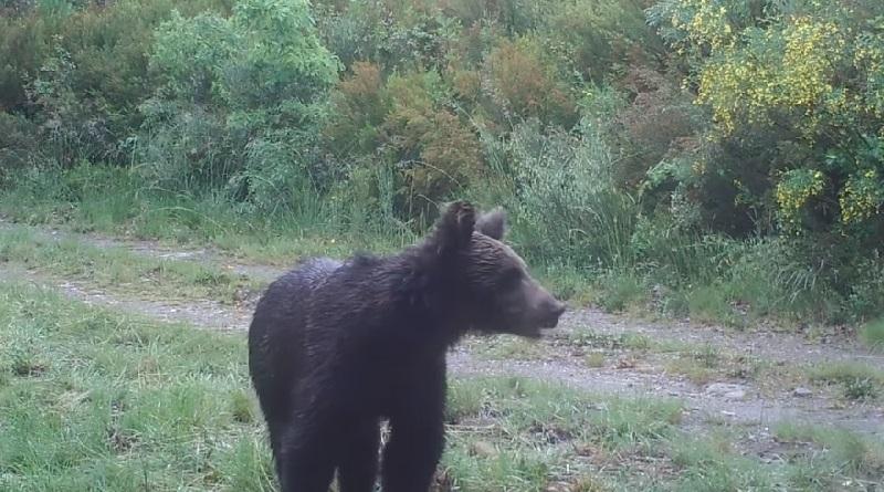 Depois de 150 anos, urso pardo é visto em parque na região da Galícia, na Espanha