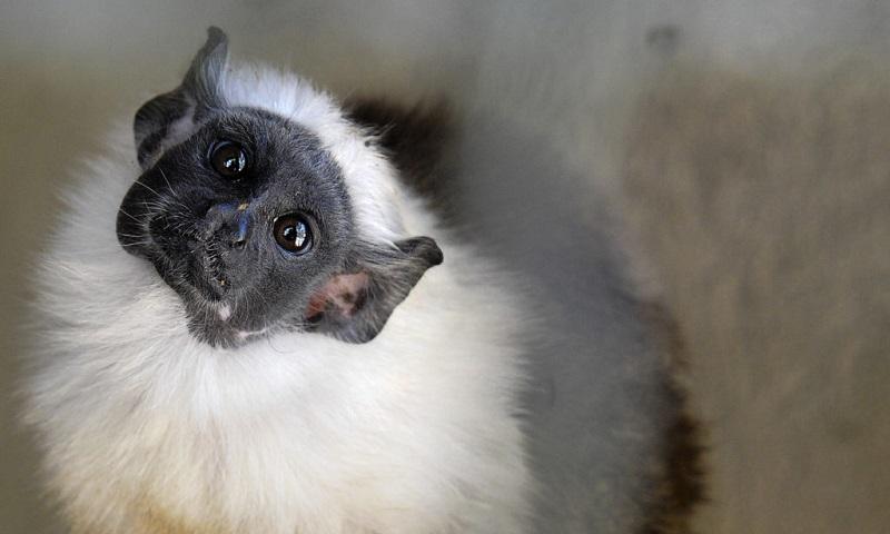 Filhote de sauim-de-coleira, espécie criticamente ameaçada de extinção, nasce em zoológico de Brasília
