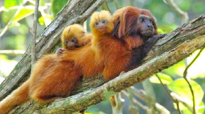 O mico-leão-dourado enfrenta uma nova ameaça: a febre amarela