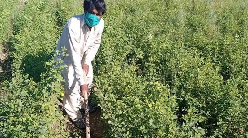 Paquistão contrata cidadãos desempregados, devido a pandemia, para plantar árvores contra as mudanças climáticas