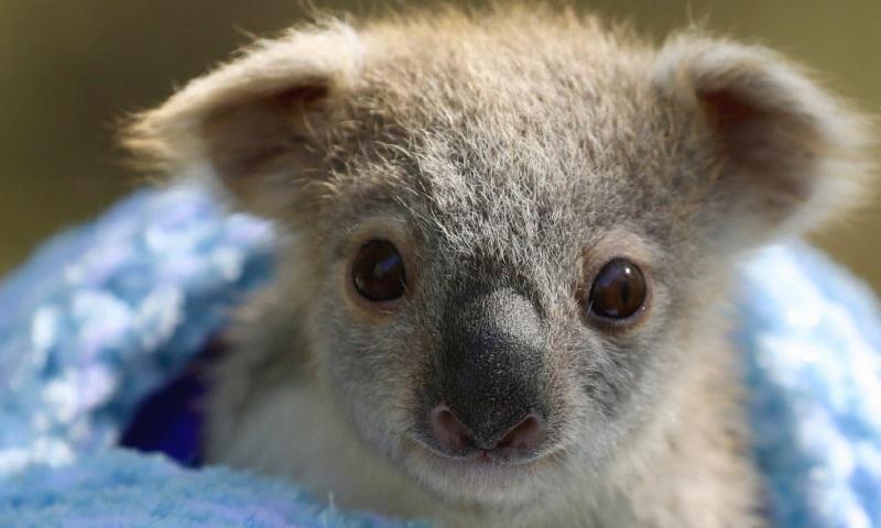Parque na Austrália celebra nascimento de primeiro coala, meses após incêndios florestais matarem cerca de 10 mil indivíduos da espécie