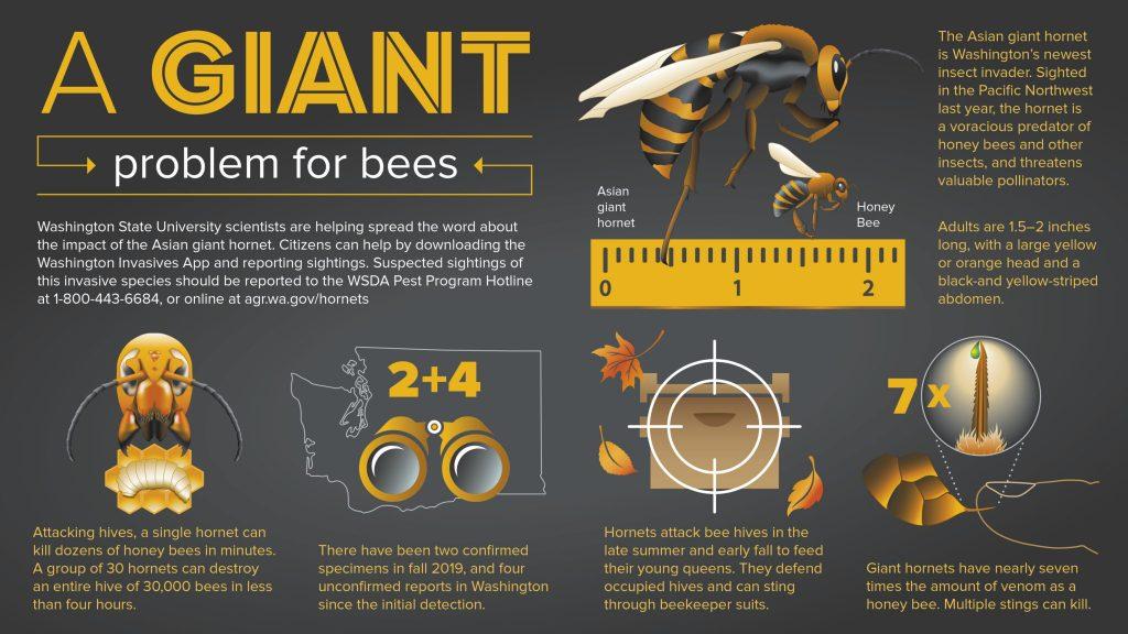 Cientistas alertam sobre aparecimento de 'vespa gigante assassina' nos Estados Unidos