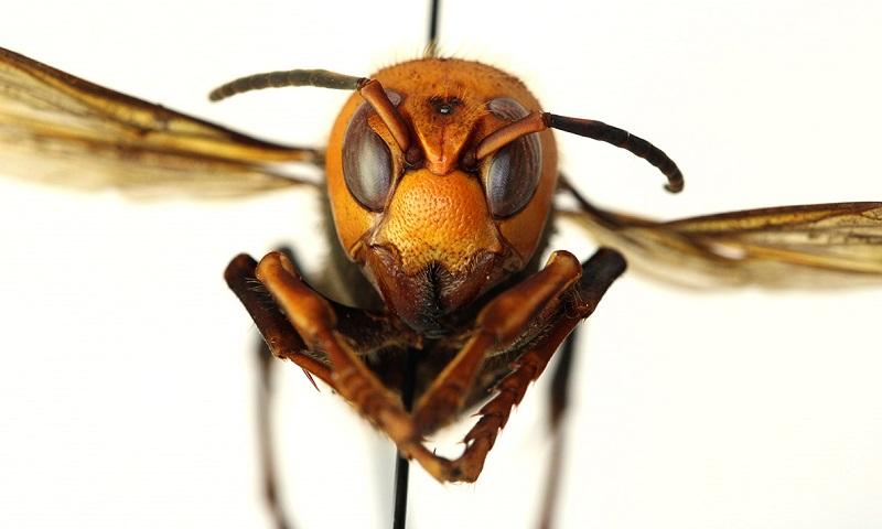 Cientistas alertam sobre aparecimento de vespa gigante nos EUA