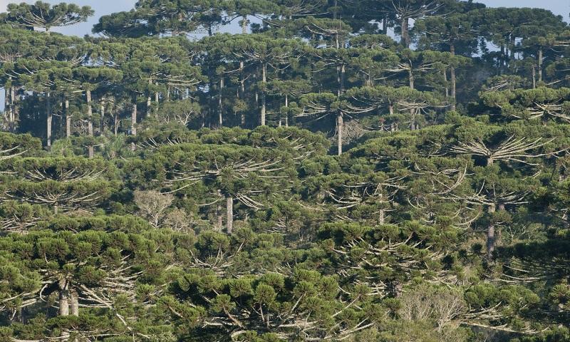 Projeto de lei ameaça sobrevivência da Floresta com Araucária do Brasil