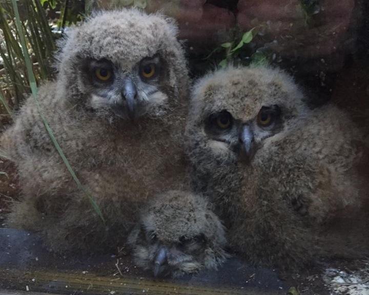 Surpresas da quarentena: homem se depara com três filhotes gigantes de coruja em sua sacada