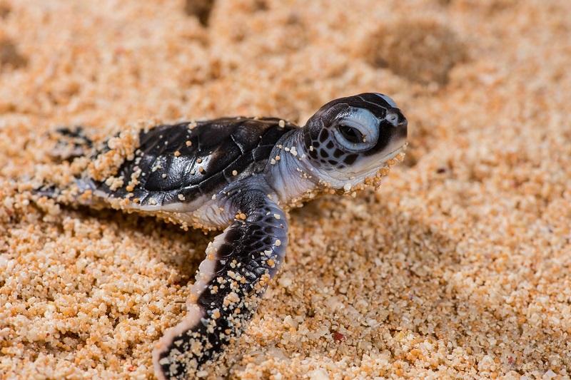 Cientistas usam drones para fazer contagem em maior berçário de tartarugas-verdes no mundo, na Grande Barreira de Corais