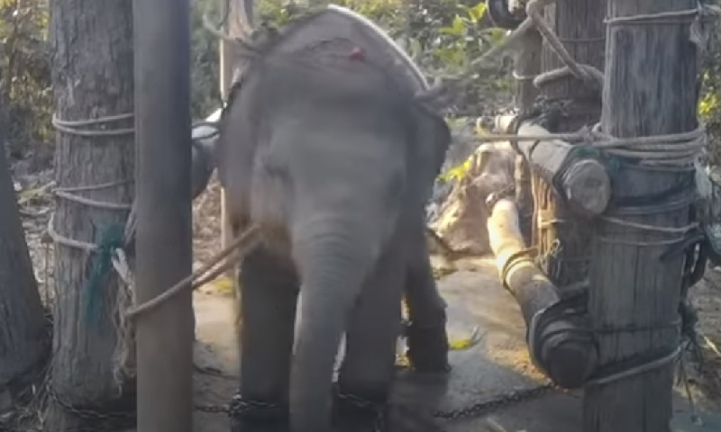 Flagrantes revelam treinamento cruel de elefantes usados em atrações turísticas