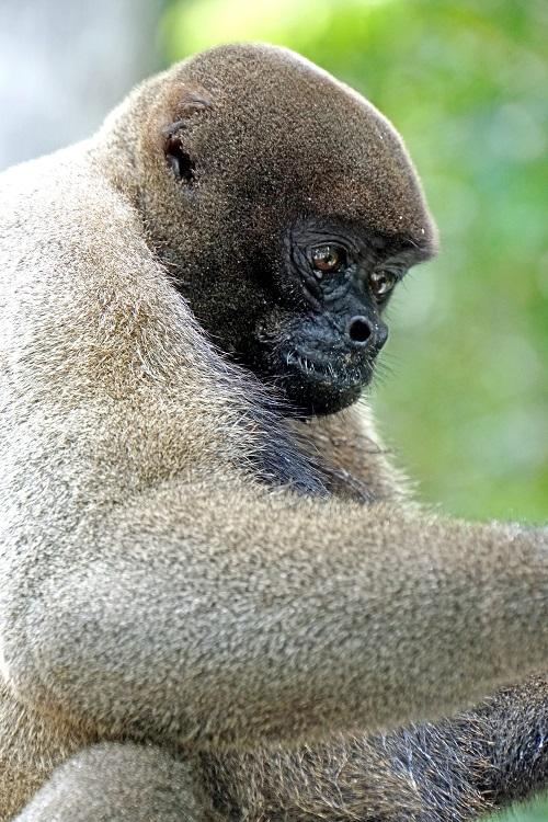 Aumento do desmatamento pode levar à extinção do macaco-barrigudo na Amazônia