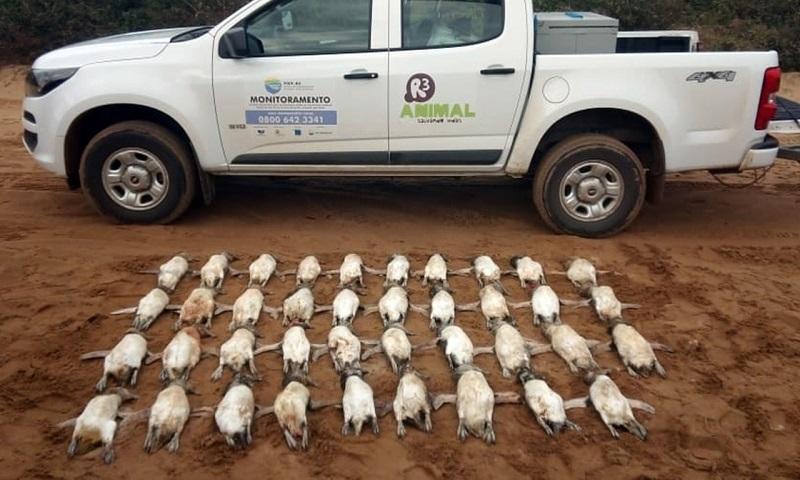 Dezenas de pinguins aparecem mortos na litoral de Santa Catarina