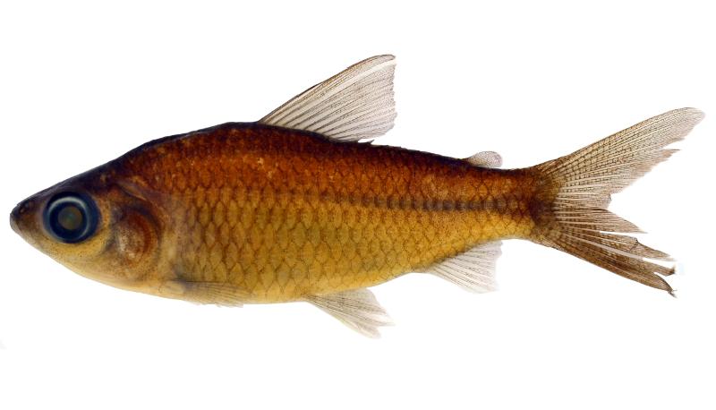 Seis novas espécies de peixes são descobertas na Amazônia