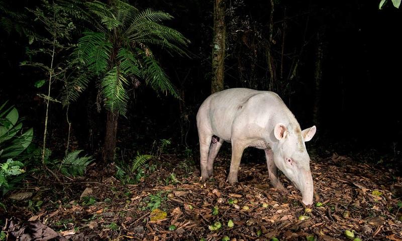 Registro de duas antas albinas no Brasil ganha destaque em publicação científica internacional