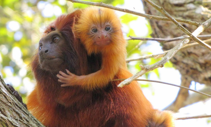 Em ação inédita no mundo, micos-leões-dourados começam a ser vacinados contra a febre amarela no Brasil
